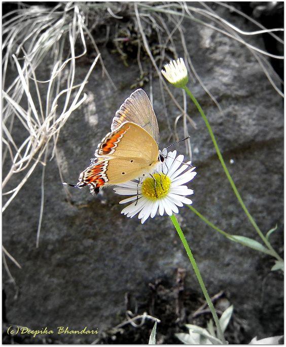 Mountain Butterfly..
