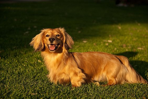This is a Golden Dox (golden retriever/dachshund mix)  Pretty sure this is my answer to Small Dog and a Golden smile!  Now....if I can only find a rescue organization for them!