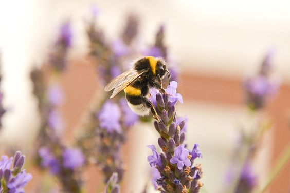 Many culinary herbs will attract bees to your garden. Grow herbs and you will get double-duty attracting pollinators and bringing flavorings to the kitchen.
