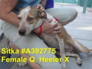 No longer available. Sitka (Rescue) is an adoptable Australian Cattle Dog (Blue Heeler) Dog in Tucson, AZ. Sitka is on the rescue list due to infected wounds. To ADOPT a SPECIAL NEEDS ANIMAL (SNA, LTR, Rescue List or Sick...