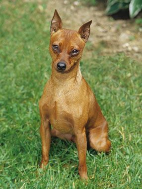 Miniature Pinscher Breed Information Doberman Pinscher
