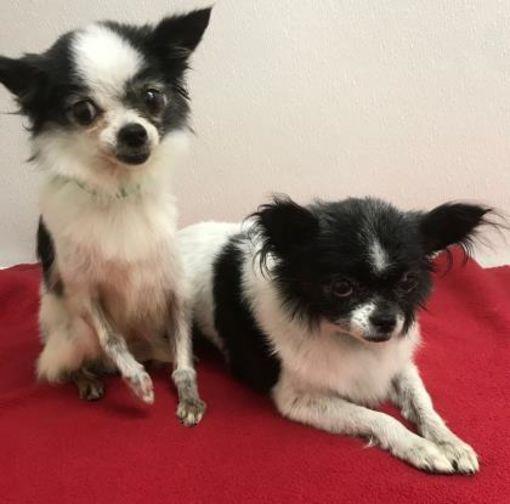 Bonded Pair Phoenix Az Chihuahua Meet Elf And Vixen Dog For