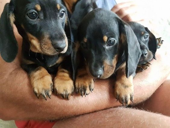 Beautiful Miniature Dachshund For Sale - Animals - Catawba - South Carolina…