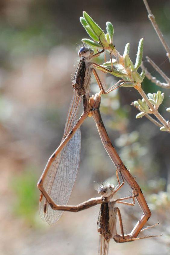 """APAM CLM en Twitter: """"Técnicos y #AAMM descubren dos de las libélulas más amenazadas de Europa en #Cuenca http://t.co/saZek4VhvH http://t.co/krIfwL4UIO"""""""