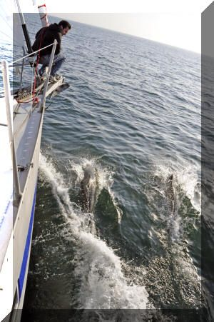 Watching dolphins play off the bow on journeys between the main land and Catalina Island, California