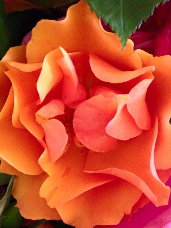 Orange rose my garden