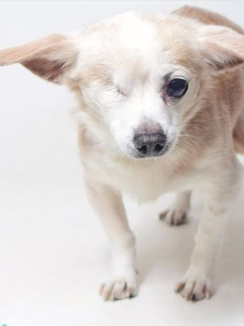 Adopt Dexer The Senior Chihuahua Pet Adoption Pets Dog Love