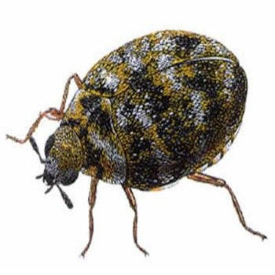 How To Get Rid Of Carpet Beetles Home Decor Pinterest