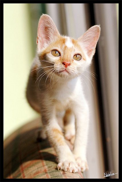 Kitten - Curious (by furry-photos via Flickr)