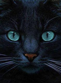 chat noir ( H)