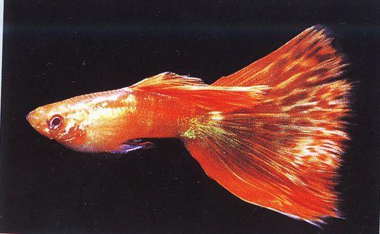 สายพ นธ ปลาหางนกย ง และการเพาะเล ยง ปลาหางนกย ง ภาพ