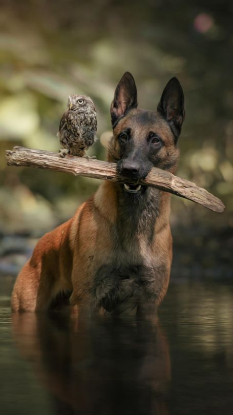 Dog and Owl by Tanja Brandt *My comment is; this particular d8g is a Belgian Malinois. They're often mistaken for a GSD.