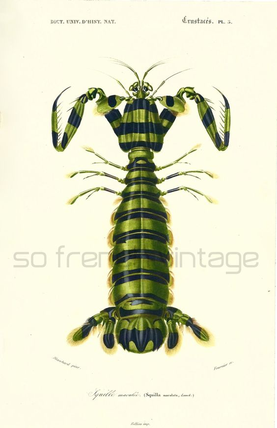 1861 Squille, Gravure Ancienne Crustacés,  Ch. d' Orbigny, Histoire Naturelle arthropodes, Crevette-mante, Lithographie peinte à la main de la boutique sofrenchvintage sur Etsy