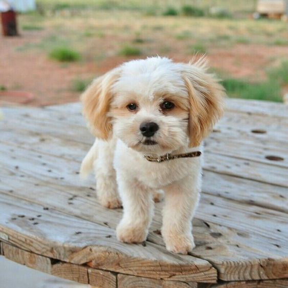 Shih Doodle Puppy Teddy Bear Puppies Shih Tzu Poodle Shih Poo
