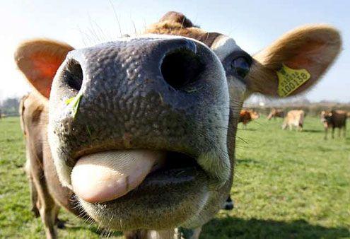 Cow lick :p