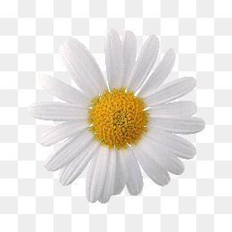 Daisy Clipart Daisy Flower White Chrysanthemum Plant Material Flower Png Images Paper Collage Art Flower Aesthetic
