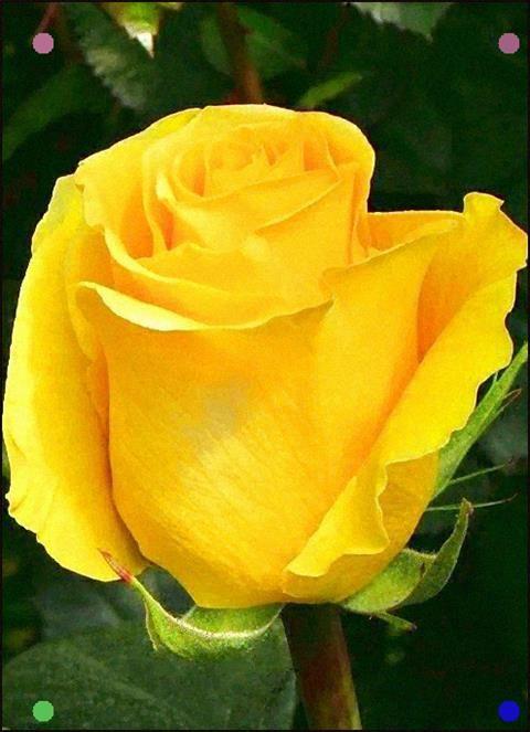 Yellow Rose Variety Brighton Yellow Roses Beautiful Flowers Rose Varieties
