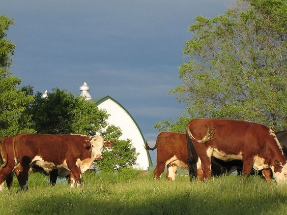 The cows love summer too.