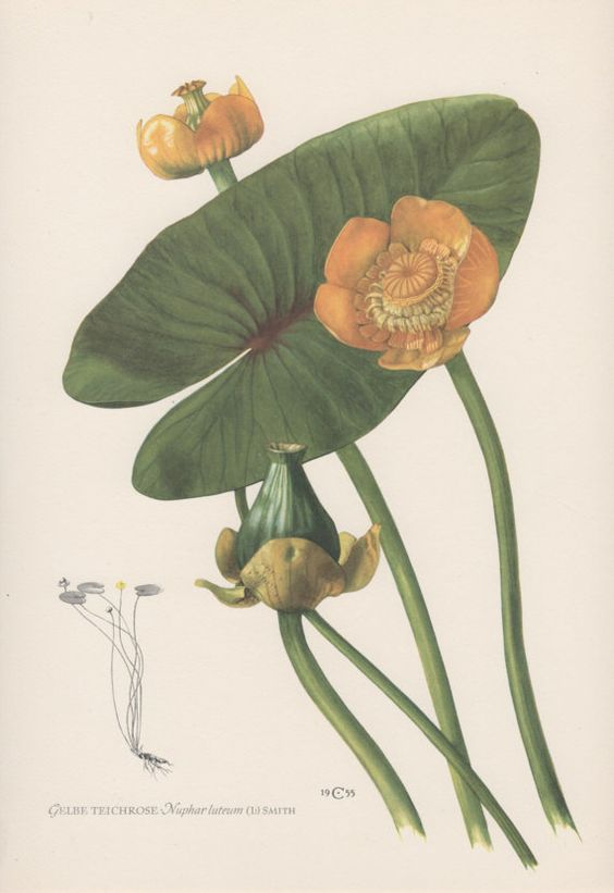 1950's Botanical Print, Nuphar lutea, Yellow Water-lily, N. Luteum, Flora…