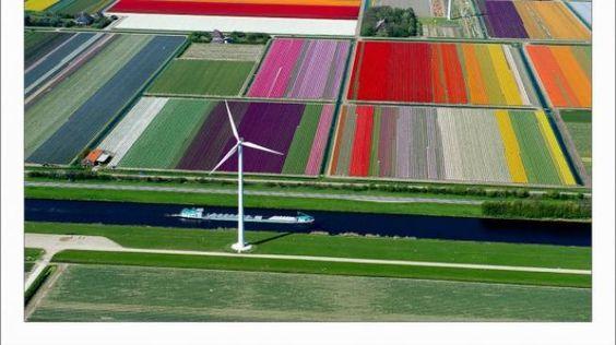 Netherlands - fields of tulips