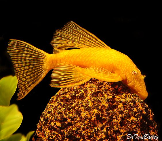 Pinterest the world s catalog of ideas for Pleco fish food
