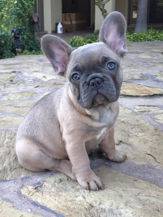 Pin By Lilybelle Farms On French Bulldogs Cute French Bulldog
