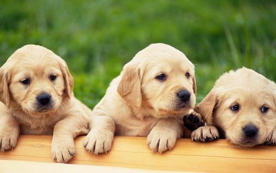 corgi puppy pui - Căutare Google