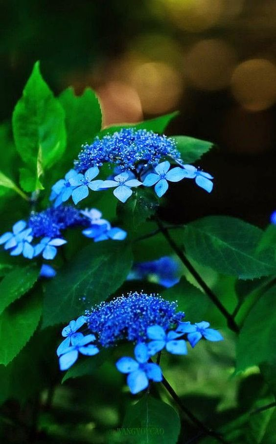 lacecap - Awesome Flowers ~ Stunning nature