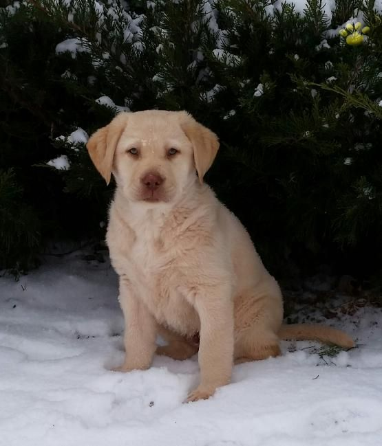 Oliver Labrador Retriever Puppy For Sale In Loysvile Pa Lancaster Puppies Labrador Retriever Labrador Puppies For Sale