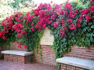 Climbing roses for trellises behind veggie garden.