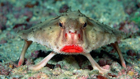 Strangest Animals of All Time   Red  Red lipped batfish from the Galapagos Islands this fish is actually a pretty bad swimmer, and uses its pectoral fins to walk on the bottom of the ocean. Description from pinterest.com. I searched for this on bing.com/images