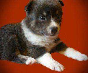 Pomsky puppies for sale uk My Cute Pomsky Pinterest
