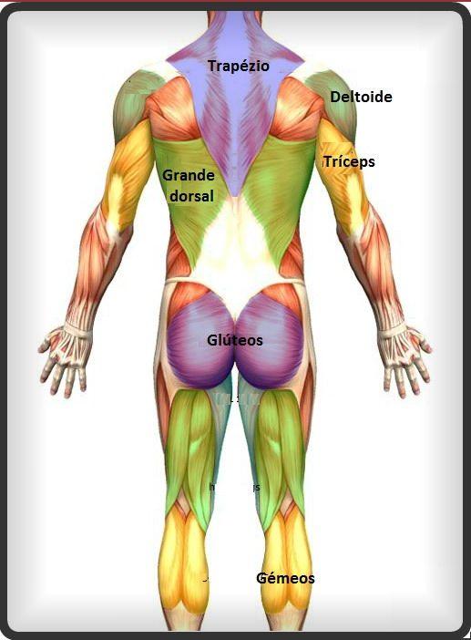 Musculos Das Costas Musculos Do Corpo Humano Corpo Humano Para