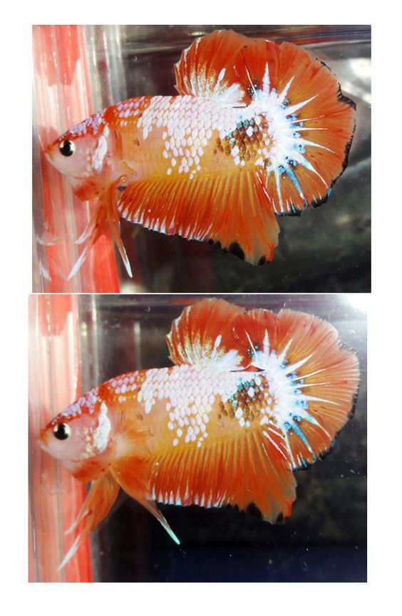 fwbettashmp1436193397 - OHM orange  male