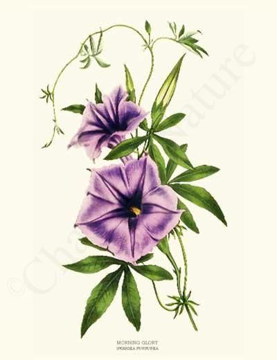 Flower prints, Vintage and Morning glories on Pinterest Morning Glory Botanical Drawing