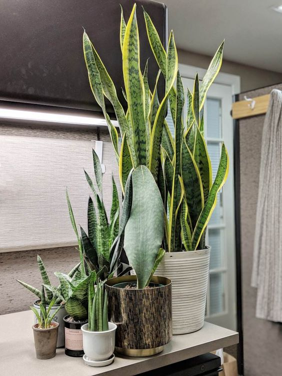 Sansevieria or sanseveria is a cute plant very easy to manage. Its leaves are splendid and its capacity to adapt to our indoors is ideal.