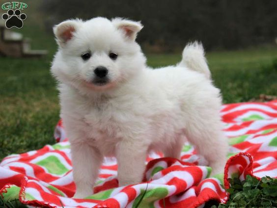 Snowball American Eskimo Puppy For Sale In Pennsylvania
