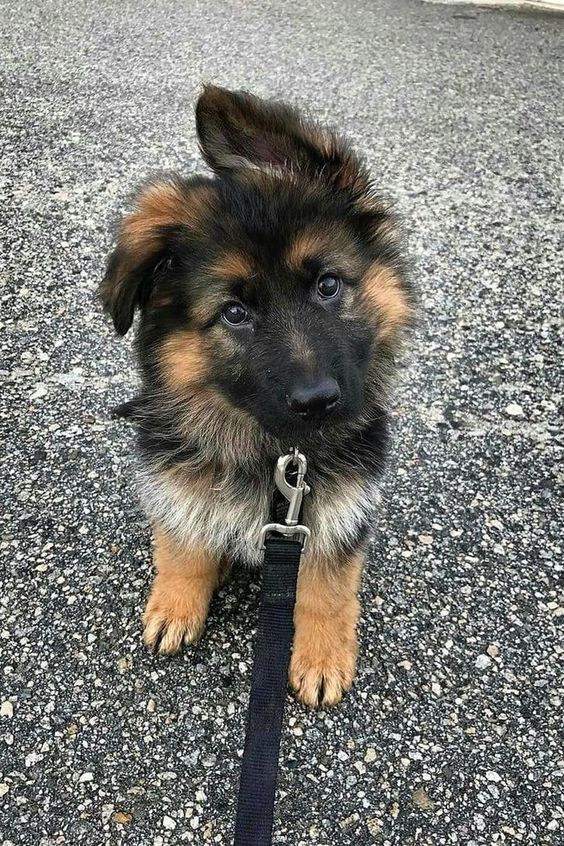 Full Grown German Shepherds Are Cute But Have You Seen Them As