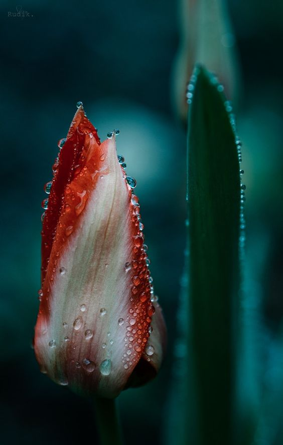 Tulip by Stasy Rudik on 500px