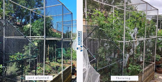 This First Cage I Have About 8 Varieties Of Tomatoes A Couple Of Cucumber Plants The Self Seeded Borage Is Growing In 2020 Tomato Plants Cucumber Plant Celery Plant