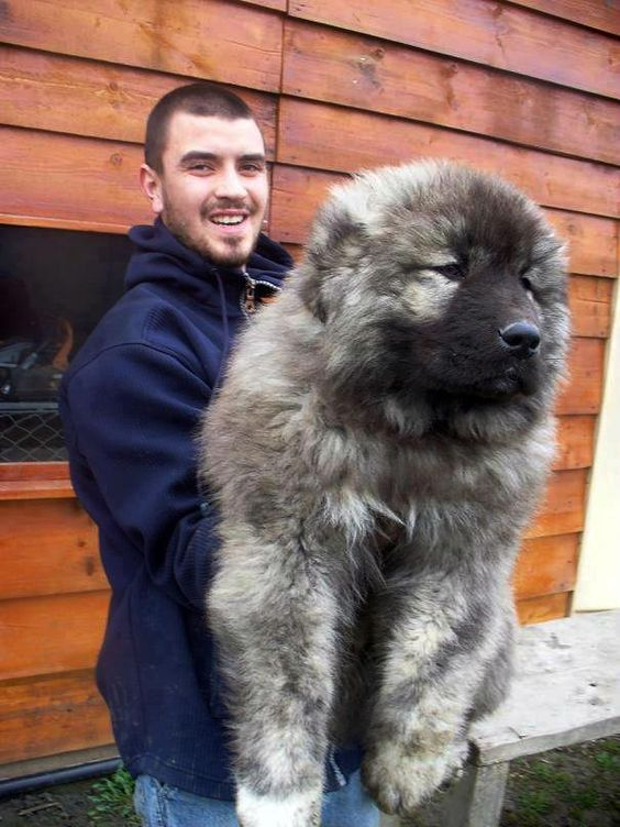 Ovcharka puppy! It looks like a bear. i want one. i WILL have one