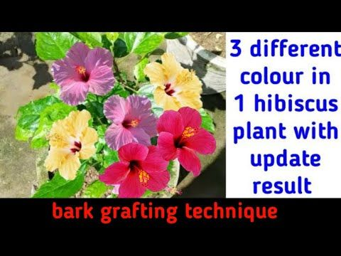 3 Different Colour In 1 Hibiscus Plant With Success Result Bark Grafting On Hibiscus Plant Youtube In 2020 Hibiscus Plant Hibiscus Hibiscus Flowers