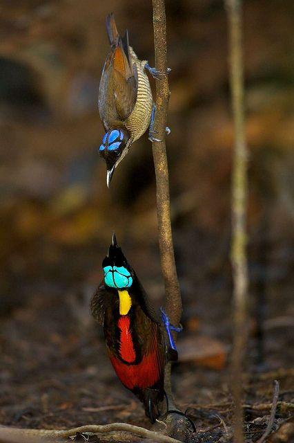 Wilson's Bird-of-paradise (Cicinnurus respublica) Синеголовая великолепная райская птица: