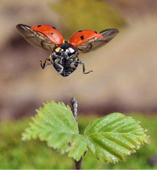Ladybug landing