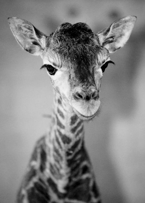 Silence speaks loudly when you're a magnificent baby giraffe.  Look at those eyelashes, I'm jealous.