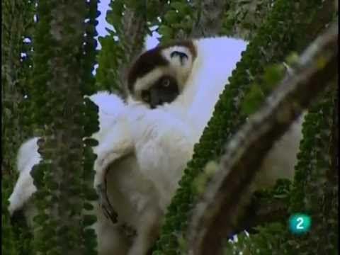 El Lemur (documental Documental sobre los lemures, animales curiosos y muchos de ellos en peligro de extinción, los cuales viven en la isla de Madagascar.)