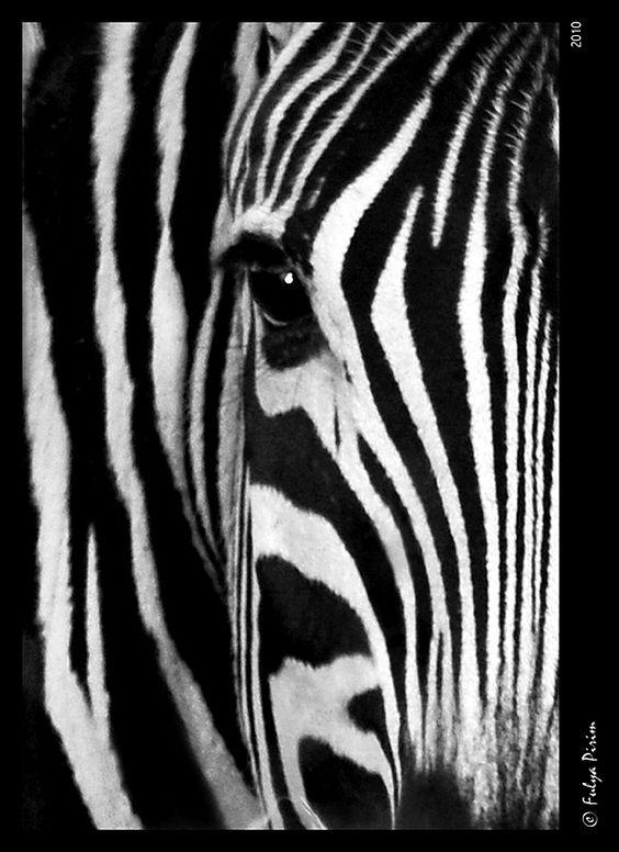 Zebra Without Stripes Kruger National Park �...