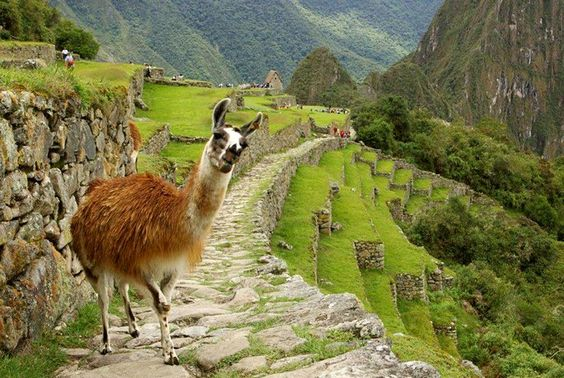 """In Peru, you are always on the lookout for these wild and cute animals!"""