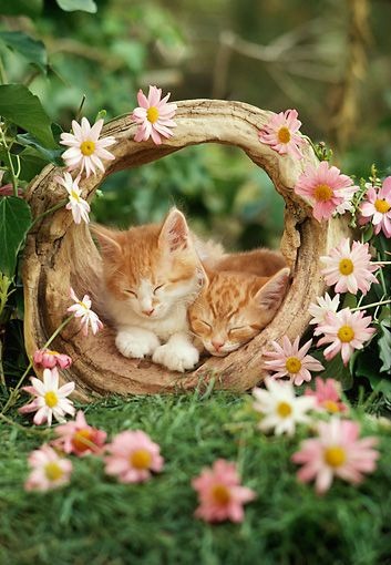 Kitty asleep in her basket, set where the pink daisies grow...: