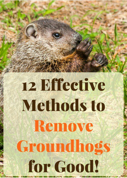 12 Effective Ways To Get Rid Of Groundhogs For Good Get Rid Of Groundhogs Garden Pests Groundhog Repellant
